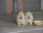 肉嘴松狮幼犬出售 高品质 赛级双血统 东莞买松狮犬必选