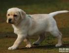 實體犬舍,繁殖賽級精品高端上檔次純種拉布拉多幼犬