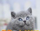 纯种英短蓝猫 短毛猫 纯种健康有保障