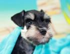 成都本地出售 上门低价 雪纳瑞幼犬 疫苗齐全一可视频看狗