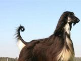 正规犬舍繁殖 纯种阿富汗猎犬 包细小犬瘟 签订协议
