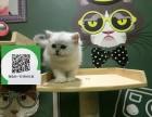 楚雄哪里有宠物店 楚雄哪里卖宠物猫便宜 楚雄金吉拉价格