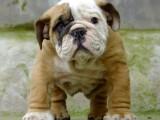 狗市可以买到纯种英国斗牛犬吗 多少钱一只