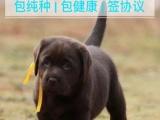 双血统赛级拉布拉多 品质保证 犬舍直销 签协议