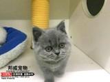 自家繁育 蓝猫 蓝白 银渐层 美短加白 市区可送
