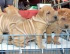 浦东哪里有沙皮犬卖 浦东沙皮犬价格 浦东沙皮犬多少钱