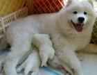 东莞买萨摩耶幼犬必选 正规犬舍 萨摩价格优惠 健康质保