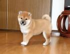上海直销秋田犬出售 活体宠物狗狗幼犬出售 纯种健康