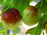安徽果树苗木基地直销枣树苗嫁接果树苗枣树苗当年结果包品种包活