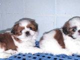 韩国引进种犬,赛级西施犬,三个月免费退换,三年