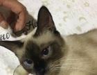 暹罗猫纯种,1年母