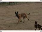 重庆马犬小犬价格多少,哪里繁育健康优质马犬,多少钱一只马犬