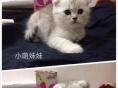 出售自家养殖折耳猫