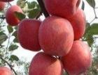 无农药大红苹果枣采摘(赠送山楂)