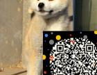 秋田俱乐部 秋田幼犬多少钱一只 秋田图片