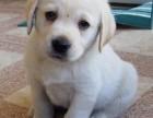 南宁最大狗场 特价直销世界名犬 拉布拉多犬等品种三百起