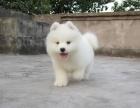 西安优良血统 纯种萨摩耶犬 健康 活泼 已疫苗驱虫