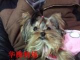 佛山约克夏幼犬价格多少迷你约克夏多少钱一只约克夏狗价格