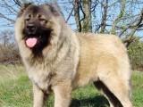 西安阿拉斯加幼犬纯种 巨型阿拉斯加活体宠物
