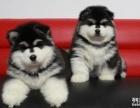 阿拉斯加特价 纯种阿拉斯加幼犬多只待售 帅气