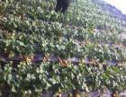 上年草莓采摘园85号棚孟家采摘园