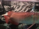 1.5米宽50厘米鱼缸和红龙一起出