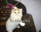 重庆什么地方有卖宠物猫加菲猫 纯种加菲猫价格