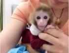 广东省广州市哪里有卖袖珍石猴宠物猴