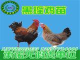 贵州鸡苗批发市场_广西实惠的土鸡苗