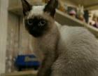 纯种六个月暹罗猫