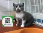 东莞哪里有宠物店 东莞哪里卖宠物猫便宜 东莞蓝猫价格