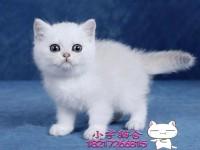 苏州英短蓝猫 渐层 蓝白 美短虎斑 起司 折耳(包纯种健康)