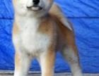 哪里有卖纯种双血统秋田犬纯种的长什么样子