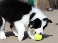 纯种边境牧羊犬 按时防疫 驱虫 品质健康保障