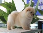 **松狮犬幼犬 超级大骨量品相好 包健康