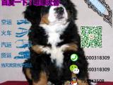 哪一家宠物店卖纯种健康的伯恩山犬多少钱一只