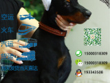 哪一家宠物店卖纯种健康的杜宾犬多少钱一只