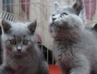 郑州英短蓝猫家养超萌 蓝猫/英国短毛猫