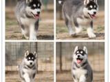 品质蓝眼三火哈士奇幼犬 完美品质 服务完善