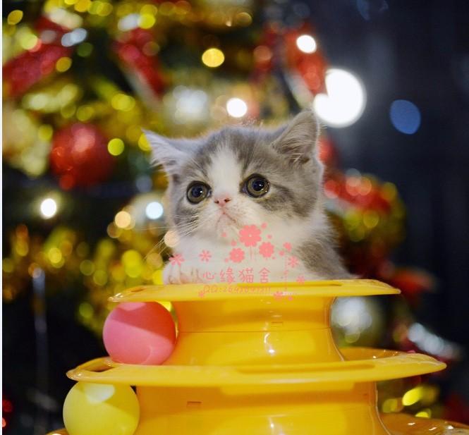 西安加菲猫多少钱 西安哪里出售的加菲猫幼犬价格较便宜