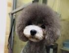 国际宠物美容师萌宠造型师为您带来赛级精致造型