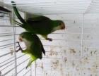 出售手养的蓝和尚鹦鹉 绿和尚鹦鹉幼鸟 品相好