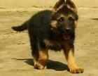 重庆养殖基地直销黑背犬及其它幼犬 签协议 送用品
