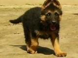 温州哪有德国牧羊犬卖 温州德国牧羊犬价格 德国牧羊犬多少钱