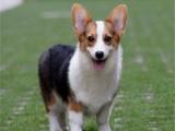 柯基犬 專業繁殖 包品質 歡迎實地挑選