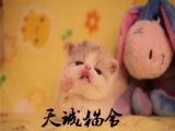 純種波斯貓,貓舍繁殖,健康純種,品質保障