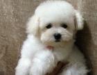 我家的泰迪熊宝宝,公母都有免费赠送爱心人士可上门看狗