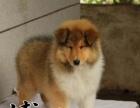 苏格兰 苏格兰牧羊犬多只可选 正规犬舍出售 签订协议