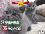 专业繁育精品包子脸英短蓝猫保健康