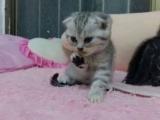 可爱美短折耳猫咪